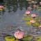"""Ames Pond Lilies<br />40x30""""<br />Oil on canvas"""